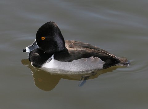 Nearly all the breeds of ducks that are common today can trace their ...  Duck Duck