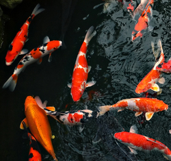 Pond life fish for What do you need for a koi pond