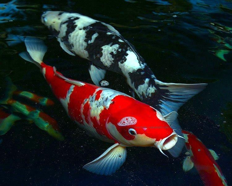 Pond Life Fish
